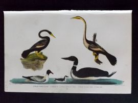 Alexander Wilson 1877 Bird Print. Black Bellied Darter, Female, Little Auk